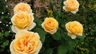 Чайногибридные розы с крупным цветком роза Афродита роза Канделайт роза Чандос Бьюти роза Ашрам.