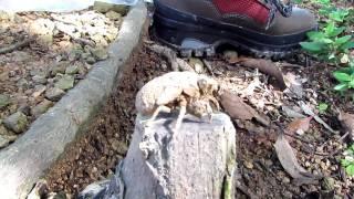 地上に這い上がってきた蝉の幼虫は樹木の幹と思ったのに 上がないことが...