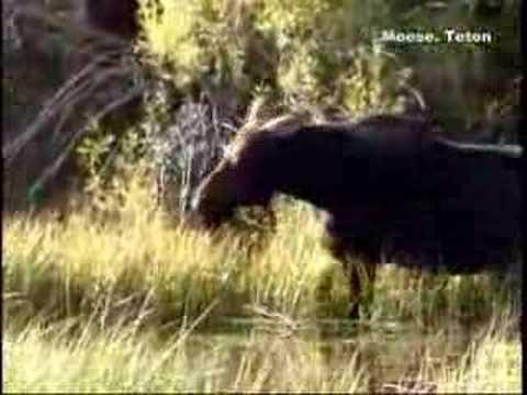 yellowstone wildlife2