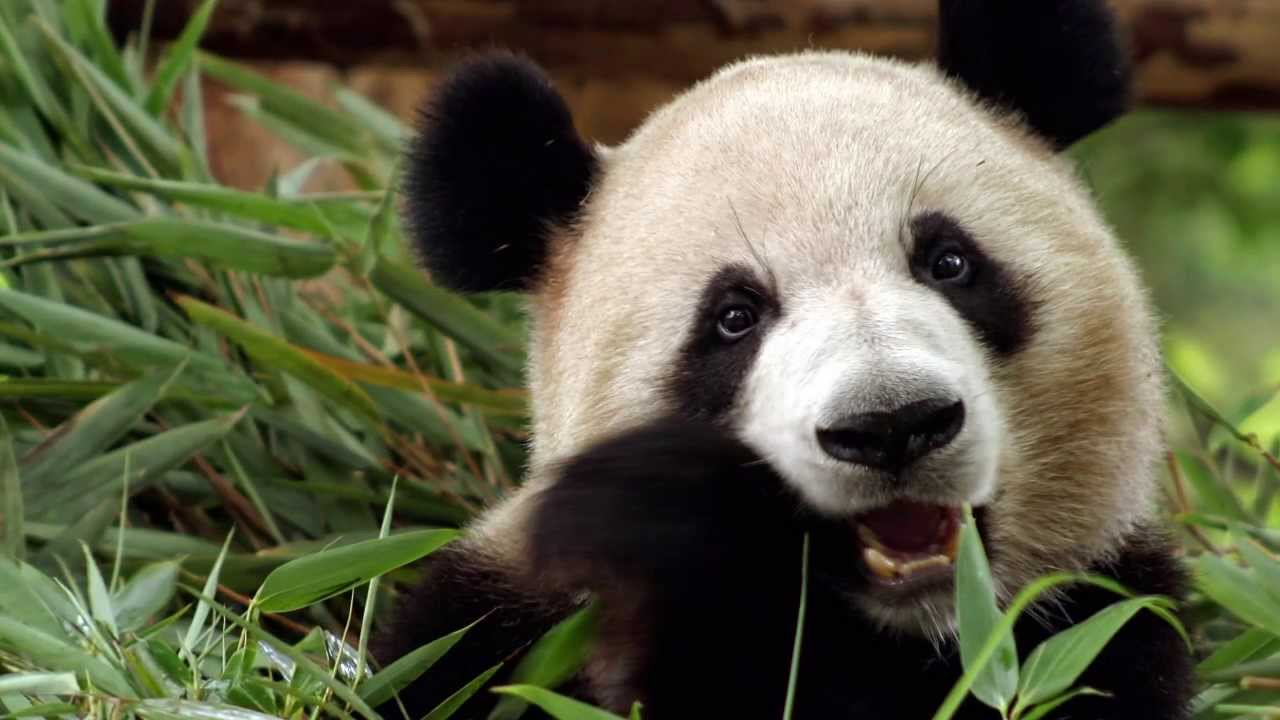 What Does The Panda Say Panda Calls Sounds Youtube