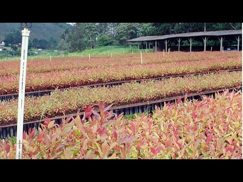 Curso Uso da Madeira de Eucalipto na Fazenda - Escolha da Espécie