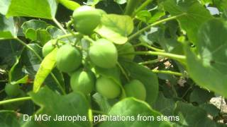 Jatropha  Growth in Tamilnadu India