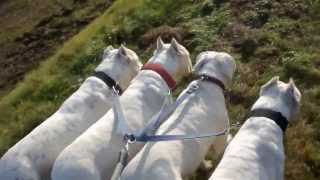 Dogo argentino group walk