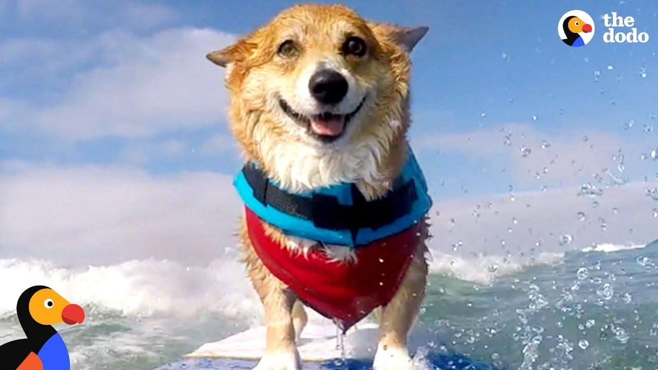 Corgi Can't Stop Smiling When He's Surfing - JOJO