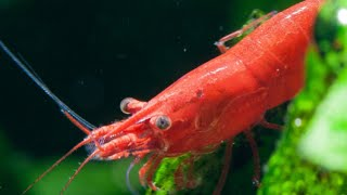 Livestock Lowdown: Red Cherry Shrimp Information and Care