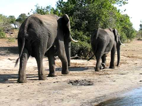 Big Elephants Walking in Botswana