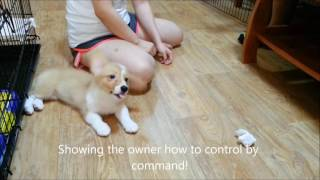 Dog training Singapore - Dahlia 3 months+ Pembroke Welsh Corgi