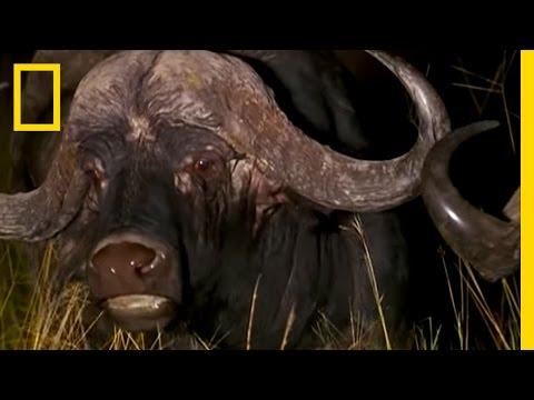Lion Pride vs. Buffalo | National Geographic