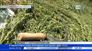 В Жамбылской области изъяли 4 тонны конопли