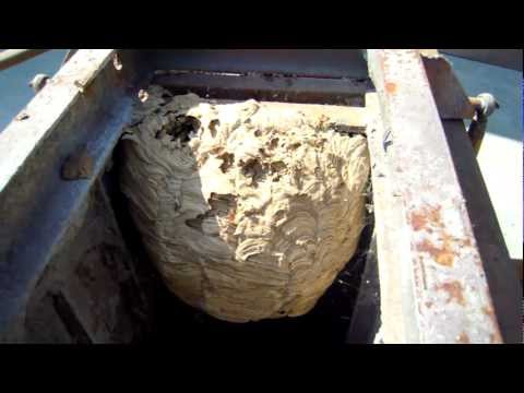 I calabroni vespa crabro doovi for Puntura processionaria
