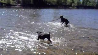 Boxer And Doberman Playing Fetch In The River