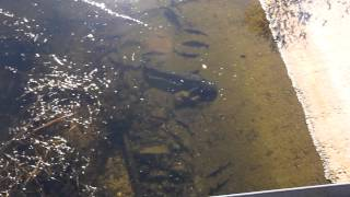 Сомы мутанты в радиоактивном чернобыльском пруду-охладителе