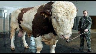 Największe krowy świata TOP10