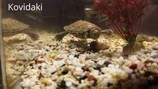 Как водная красноухая черепаха ест большую улитку