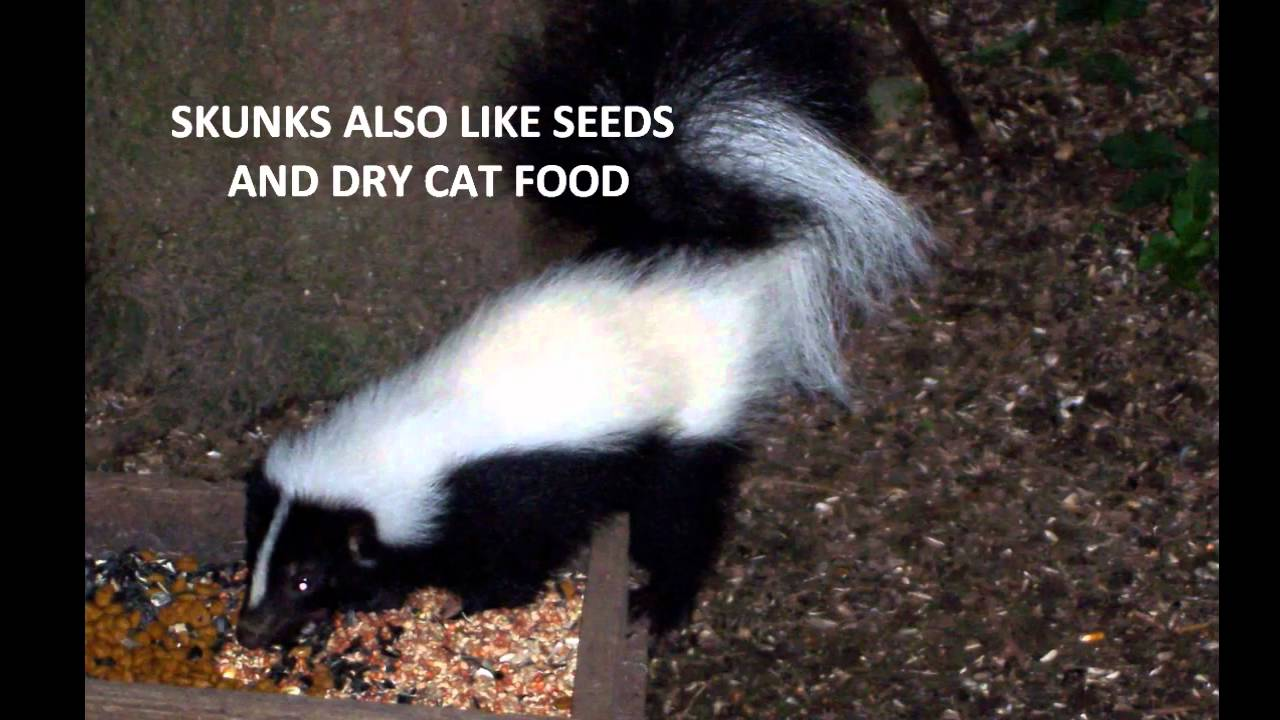 Skunk In Backyard backyard skunks - youtube