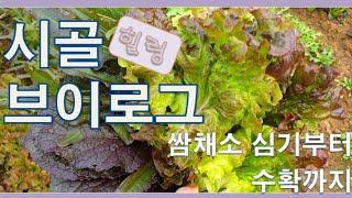 【시골 VLOG】 쌈채소 심기부터 수확해 먹기까지