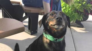 Sammy, A Terrier/beagle Mix, Available For Adoption At The Wisconsin Humane Society Ozaukee Campus