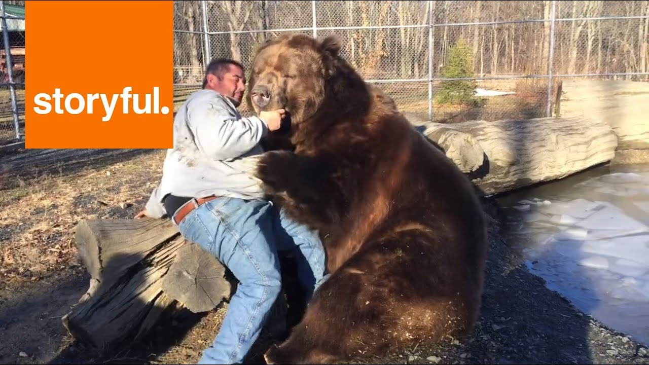 giant bear plays with human carer storyful cute youtube