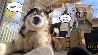 Husky spoils the Surprise when he gets too excited!