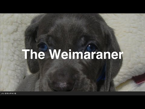 Weimaraner - Dog Profile from PetBreeds.com