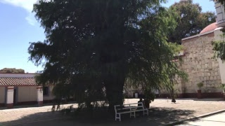 The Largest Tree InThe World?