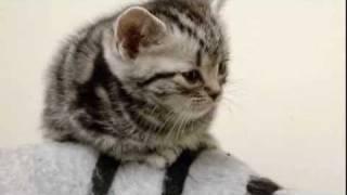 cats101americanshorthair ** High Quality**