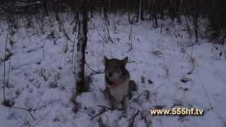 Охота на кабана и лося. Смоленская область. Часть 2.