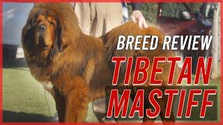 TIBETAN MASTIFF BREED REVIEW