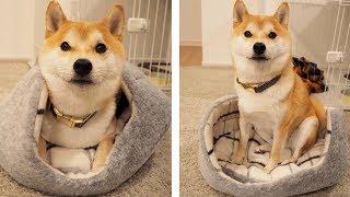 新しいベッドを没収されて駄々をこねる柴犬こてつ君