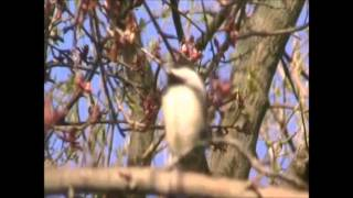 Chicadee Talk