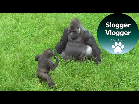Gorilla Baby Trying To Get A Reaction From The Big Silverback