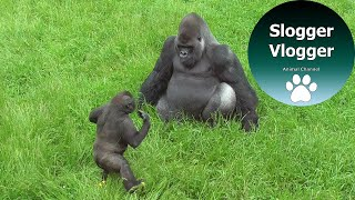 Lope The Gorilla Youngster Is Trying To Get A Reaction From His Dad The Big Silverback