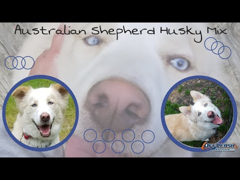 Australian Shepherd Husky/Best Dog Trainers Dover Delaware!