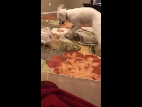Dog and Cockatoo play together