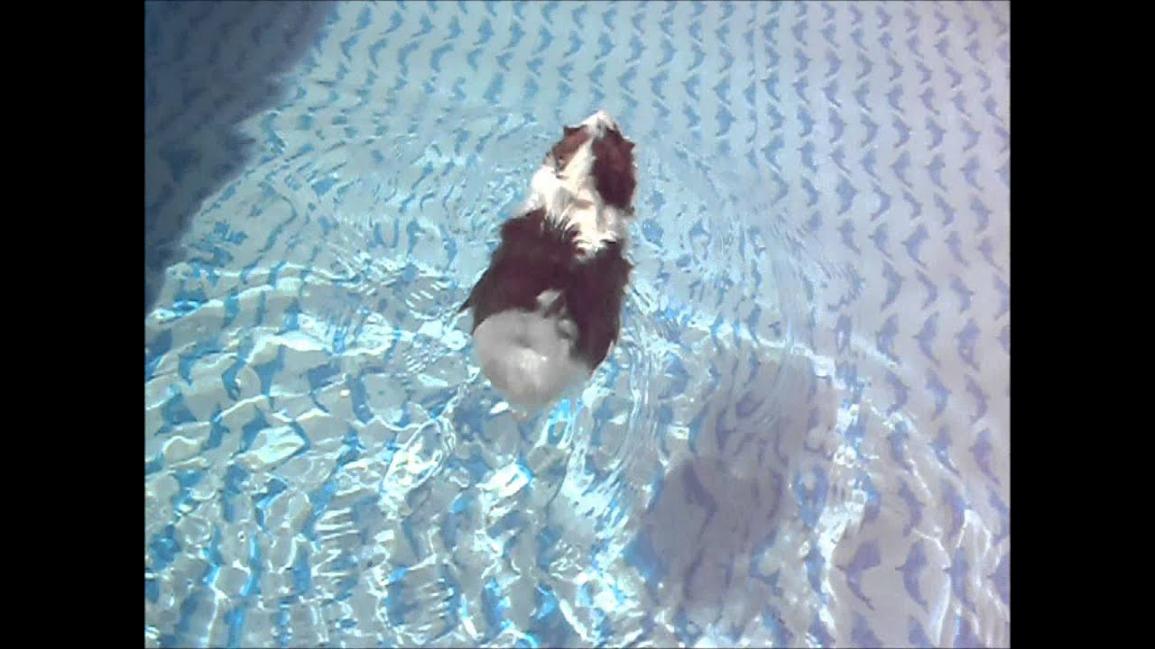 guinea pig swimming in the pool youtube