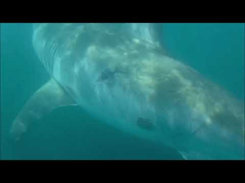 Doug & Scarpetti - Up close and personal with a Great White Shark