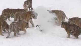 Siberian Tigers Drone Hunting in China
