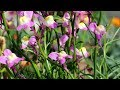Gamalon mein Linaria flowers | Growing and care | Urdu/Hindi