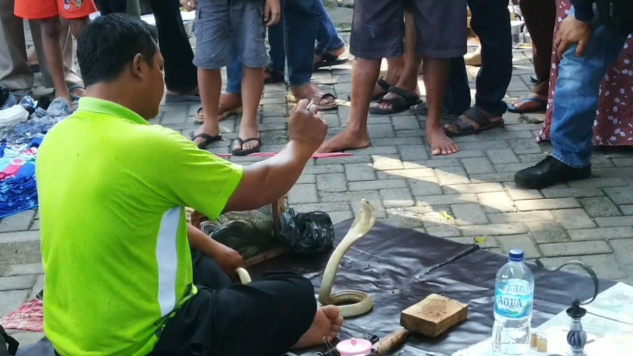 Cara memotong kepala ular Cobra buat Obat - YouTube