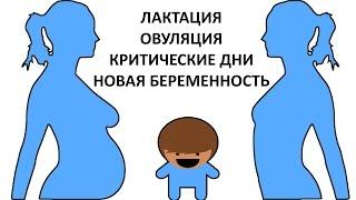 Овуляция, Беременность и Лактация (ГВ)