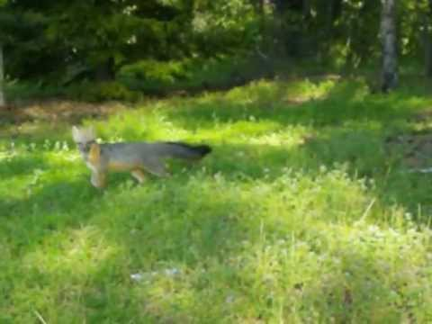 Grey Fox Barking to Protect Cubs under Barn