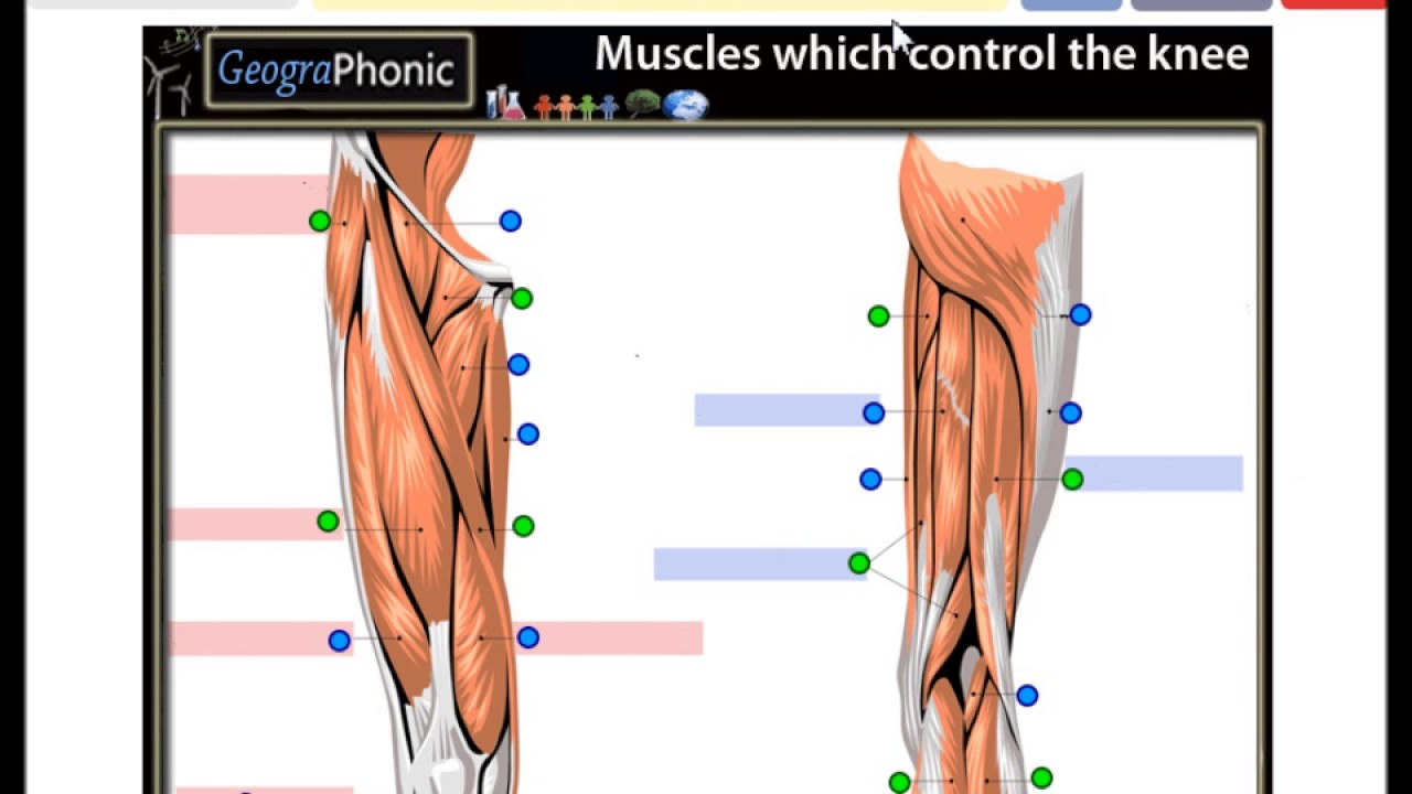 Muscles which control the knee,biceps femoris, gracilis, adductor ...