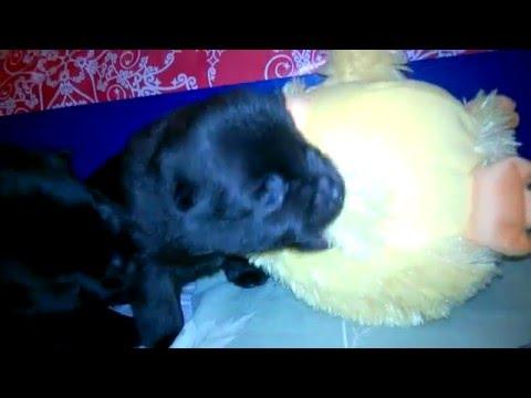 Schipperke puppy and Mr.Chicken