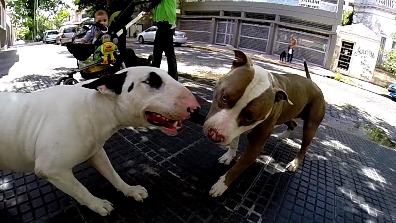 Bull terrier VS Pitbull fight