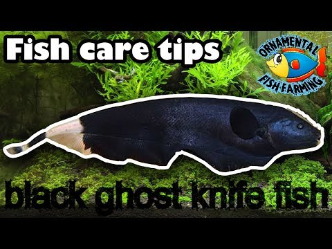 Black Ghost Knife Fish Care Tips