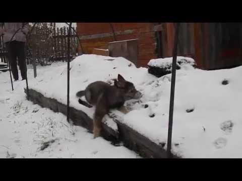 Шебутной щенок зс лайки 1.5 мес.Прогулка по первому снегу.