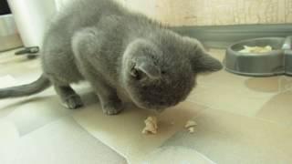 Котенок кушает и ходит по квартире [Шотландец Скоттиш Страйт]