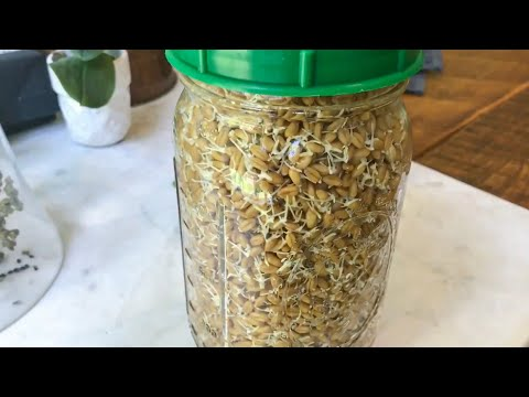 HOW TO GROW WHEAT GRASS AT HOME / PART 1 - SPROUTING