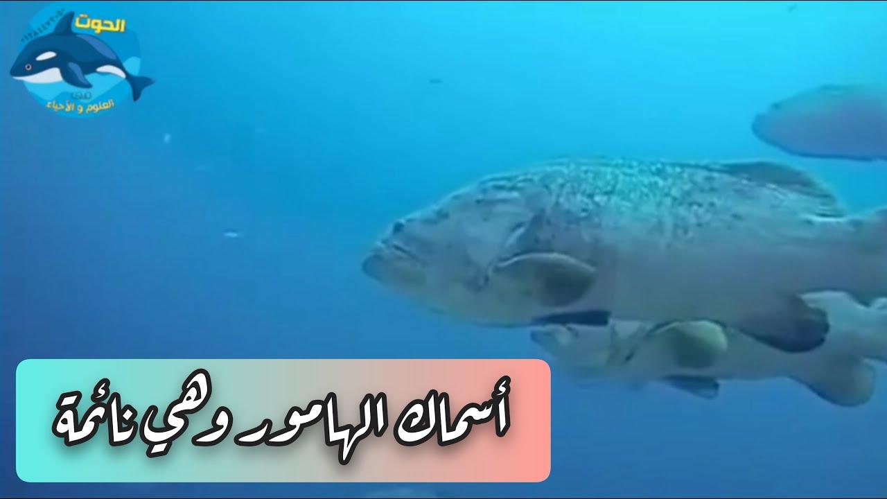 شاهد أسماك الهامور وهي نائمة 🐟