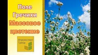 Поле гречки в фазе массового цветения  Полтавская область